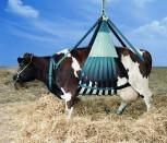 Downacow-Hebegeschirr für Rinder